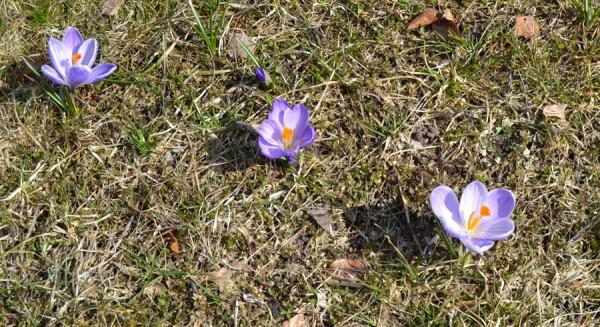 Krokusar i gräsmattan