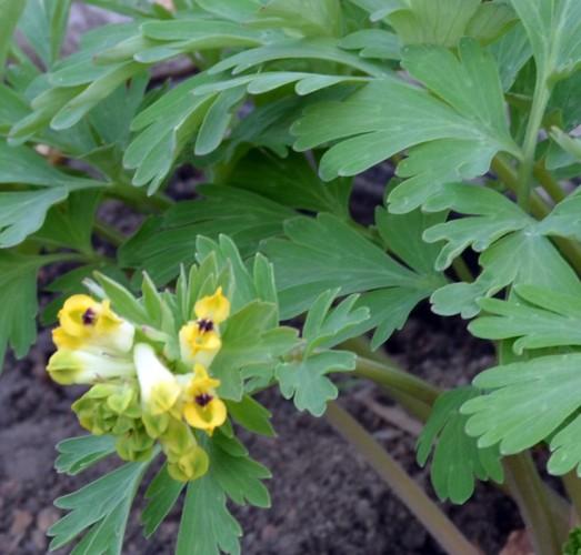 Corydalis nobilis - Sibirisk nunneört