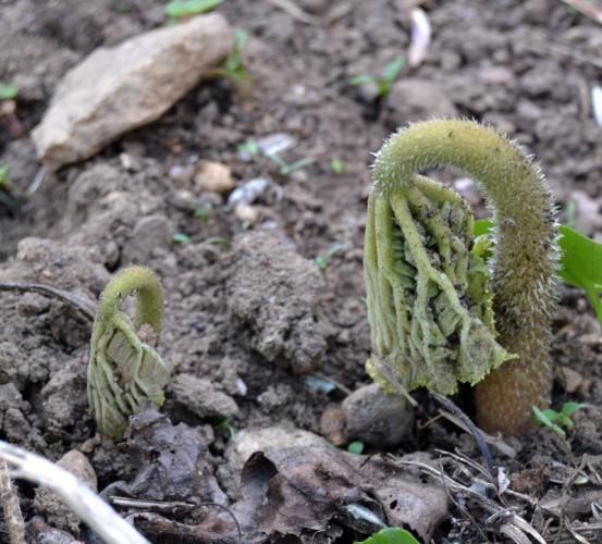 Astilboides tabularis - Parasollblad