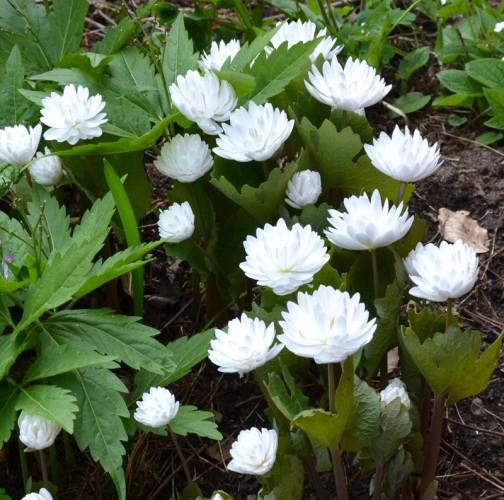 Sanguinaria canadense 'Flore pleno' - Blodört