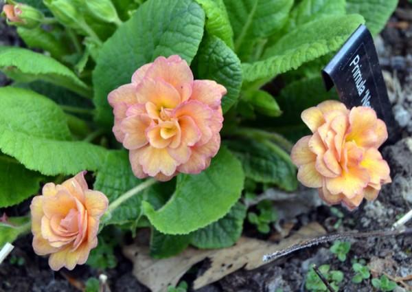 Primula 'Nectarine'