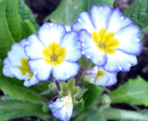 Primula 'Paris 90'