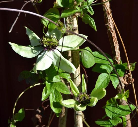 Clematis florida 'Sieboldii' (Övervintrat i kruka frostfritt)