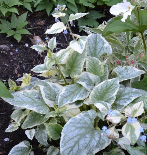 Kaukasisk förgätmigej Brunnera macrophylla 'Kings Ransom'