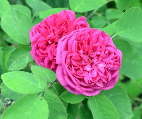 'Rose de rescht'