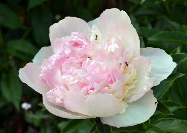Paeonia lactiflora 'Mrs. Franklin D. Roosevelt