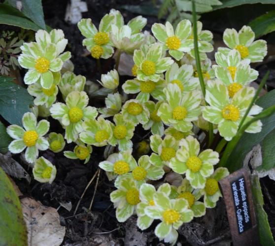 Haquetia epipactis variegata - Gullflocka