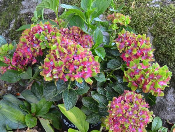Hydrangea Macrophylla 'Schloss Wackerbarth'