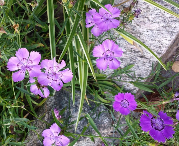 Dianthus 'Siberian Blue'