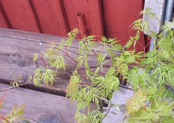 Japansk lönn Acer palmatum 'Emerald Lace'